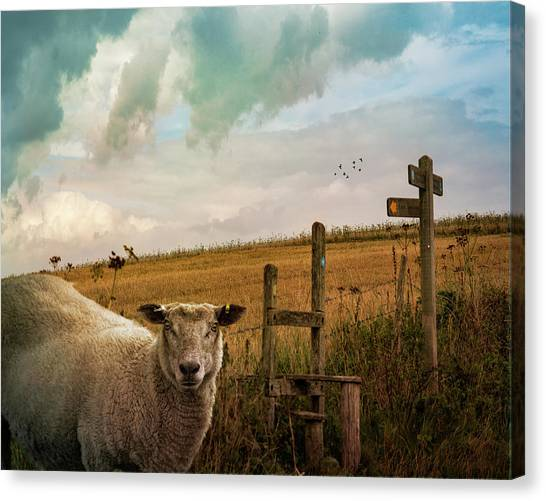 Canvas Print featuring the photograph The Sheep Who Knows Where She's Going by Chris Lord