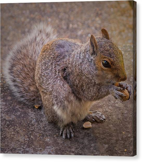 The Squirrel - Cornwall Canvas Print