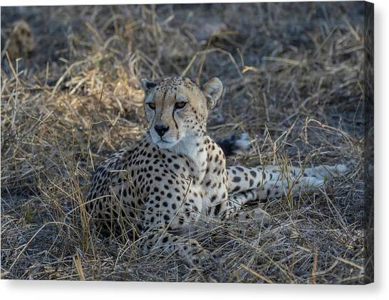 Cheetah In Repose Canvas Print