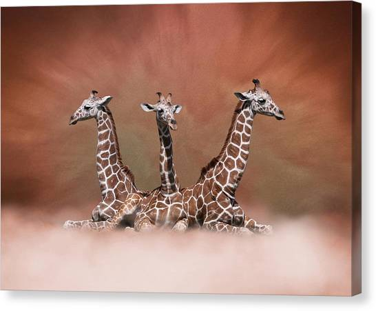 The Watchers - Three Giraffes Canvas Print