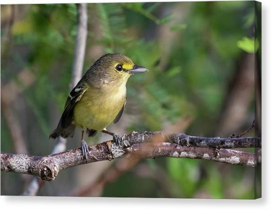 Thick-billed Vireo Canvas Print