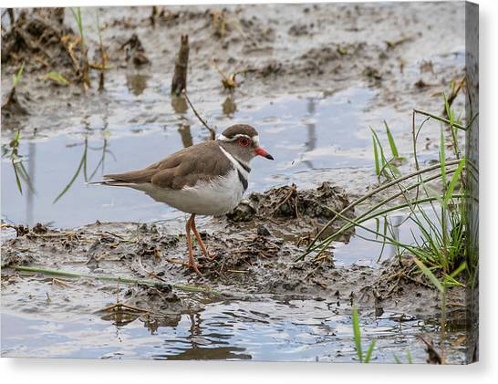 Three-banded Plover Canvas Print
