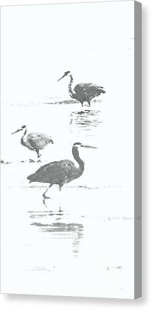 Three Blue Herons Canvas Print