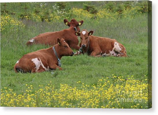 Canvas Print featuring the photograph Three Cows by PJ Boylan