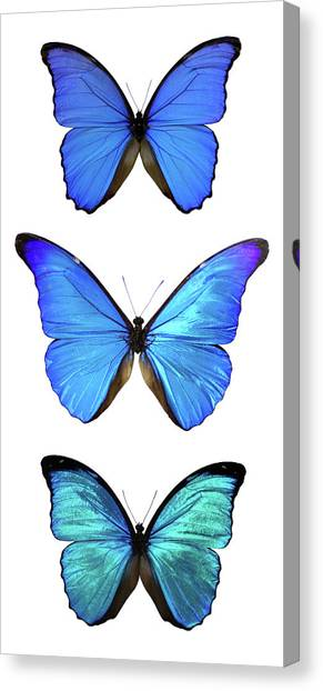 Three Morpho Butterflies Canvas Print by Imv