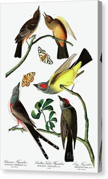 Flycatchers Canvas Print - Three Varieties Of Flycatcher From Audubon by John James Audubon