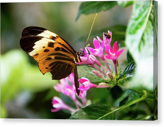 Tiger Longwing Butterfly Drinking Nectar  Canvas Print