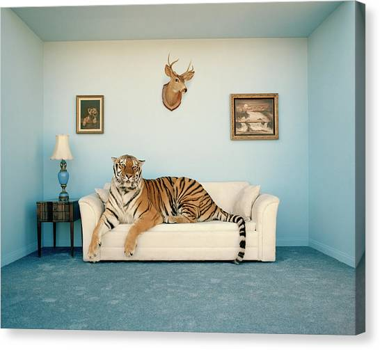 Tiger On Sofa Under Animal Trophy Canvas Print