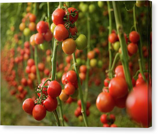 Tomatoes Growing In A Greenhouse Canvas Print by Ozgurdonmaz