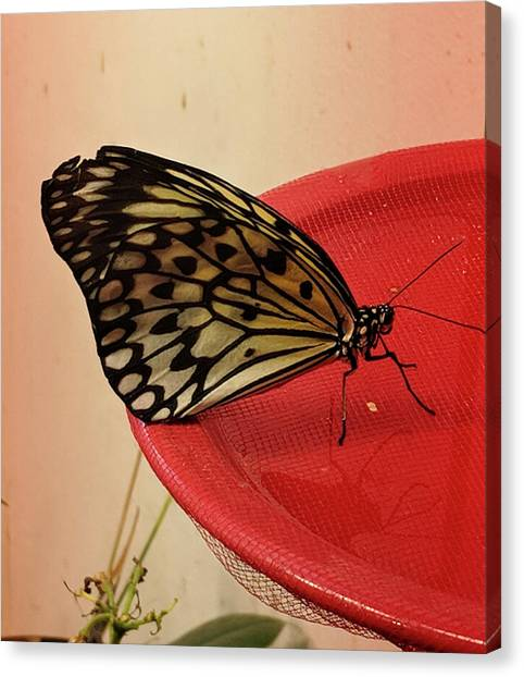 Torn Butterfly Canvas Print