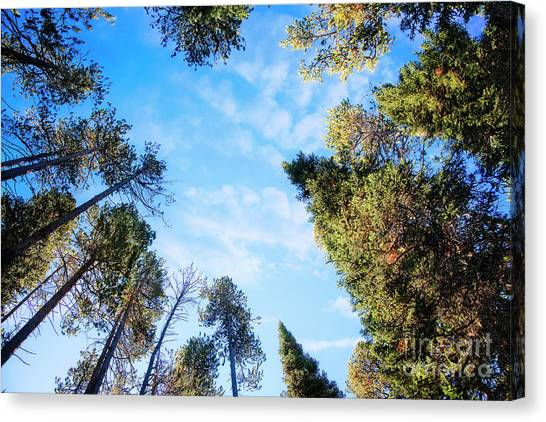 Canvas Print featuring the photograph Towering Pines by Scott Kemper