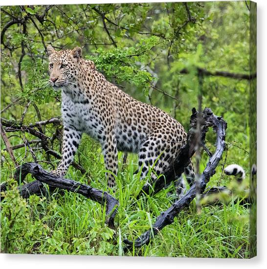 Tree Climbing Leopard Canvas Print