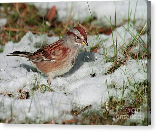 Tree Sparrow In Snow Canvas Print