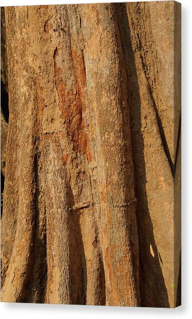 Tree Trunk And Bark Of Chambak Canvas Print