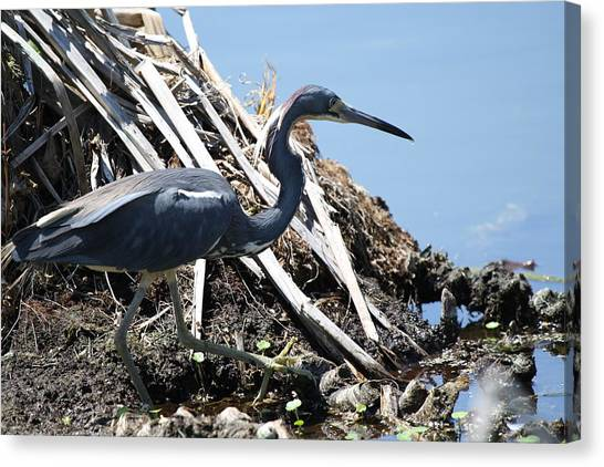 Tri-colored Heron 40312 Canvas Print
