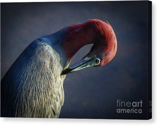 Canvas Print featuring the photograph Tricolor Preening by Tom Claud
