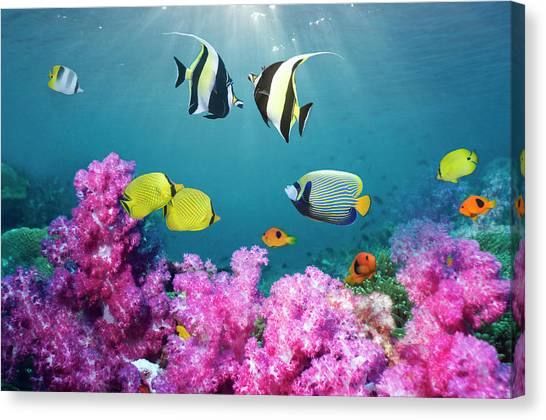 Tropical Reef Fish Over Soft Corals Canvas Print by Georgette Douwma