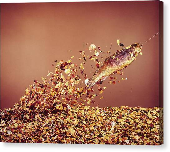 Trout Flying Out Of Bed Of Almonds In Pr Canvas Print by John Dominis