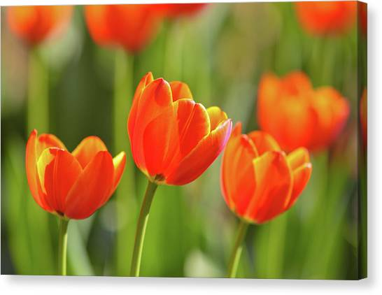 Soft Focus Canvas Print - Tulip by Ithinksky
