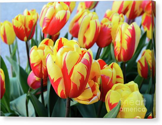 Tulips And Tiger Stripes Canvas Print