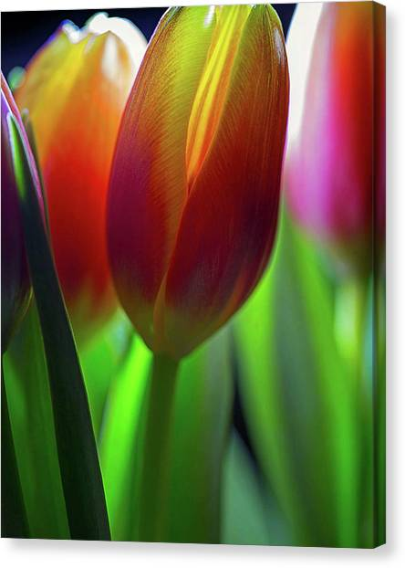 Canvas Print featuring the photograph Tulips by John Rodrigues