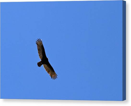 Turkey Vulture Soaring Canvas Print