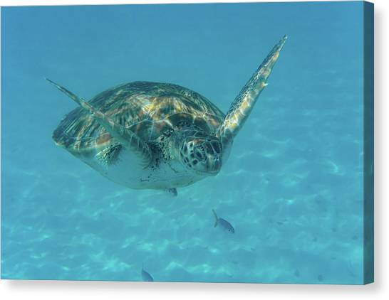 Turtle Approaching Canvas Print