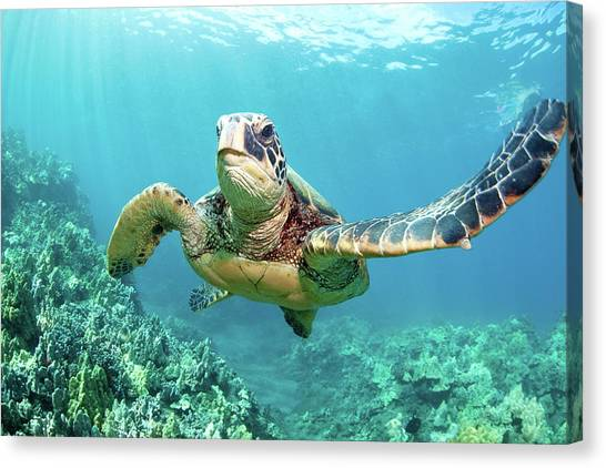 Turtle Canvas Print by M Swiet Productions
