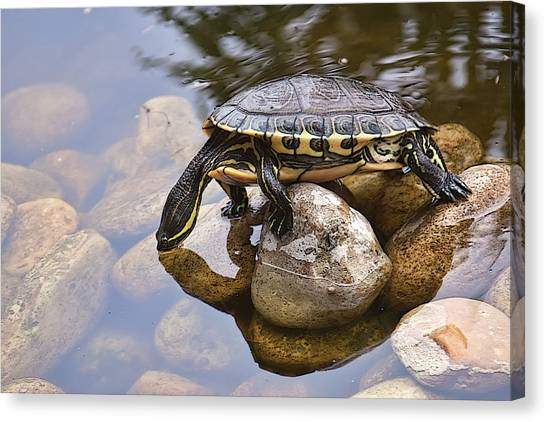 Turtle Drinking Water Canvas Print