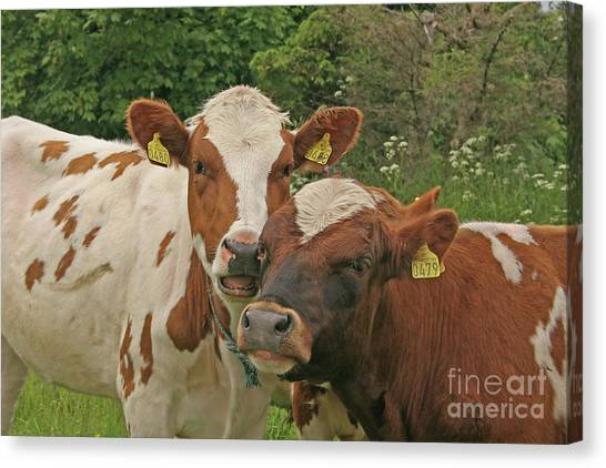 Canvas Print featuring the photograph Two Cows by PJ Boylan