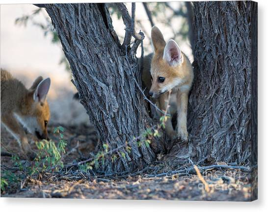 Southern Africa Canvas Print - Two Cute Baby Cape Foxes Exploring by Otto Du Plessis
