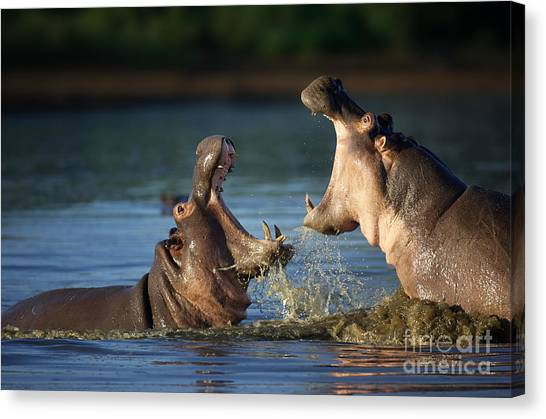 Southern Africa Canvas Print - Two Fighting Hippos Hippopotamus by Johan Swanepoel