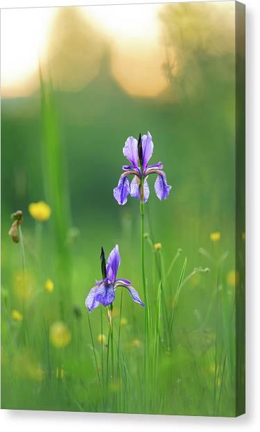 Marsh Grass Canvas Print - Two Flower Of Siberian Iris Iris by Olaf Broders