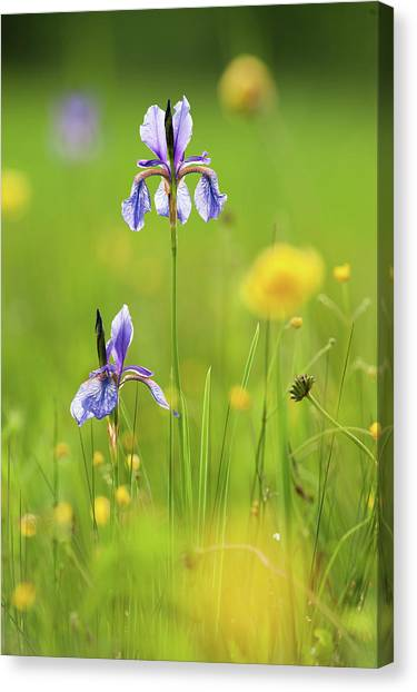 Marsh Grass Canvas Print - Two Flowers Of Siberian Iris In by Olaf Broders