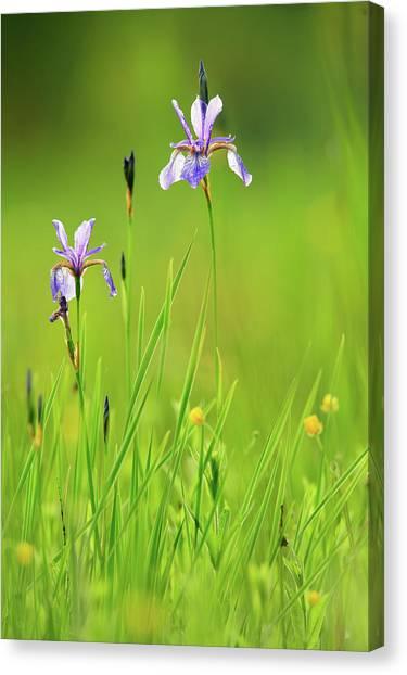 Marsh Grass Canvas Print - Two Flowers Of Siberian Iris Iris by Olaf Broders