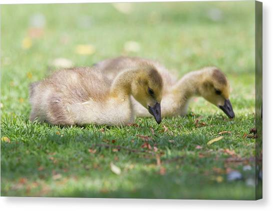 Two Goslings In Grass Canvas Print by Susangaryphotography