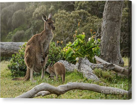 Bush Canvas Print - Two Grey Kangaroos In Australian by Mastersky