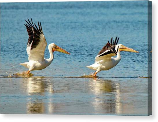 Two Pelicans Taking Off Canvas Print