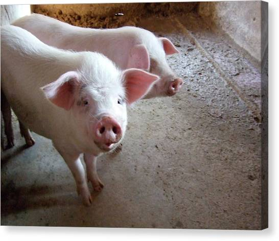 Two Pigs Canvas Print by Shinichi.imanaka