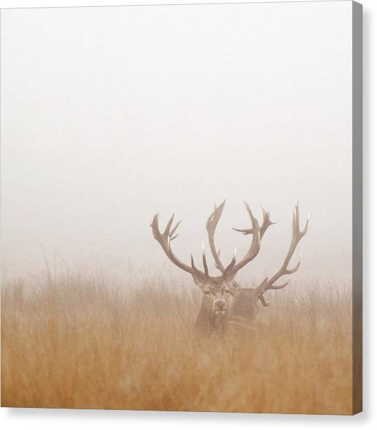 Two Stag Deer Resting In Field On Foggy Canvas Print by Beholdingeye