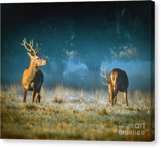 Two Stags Canvas Print