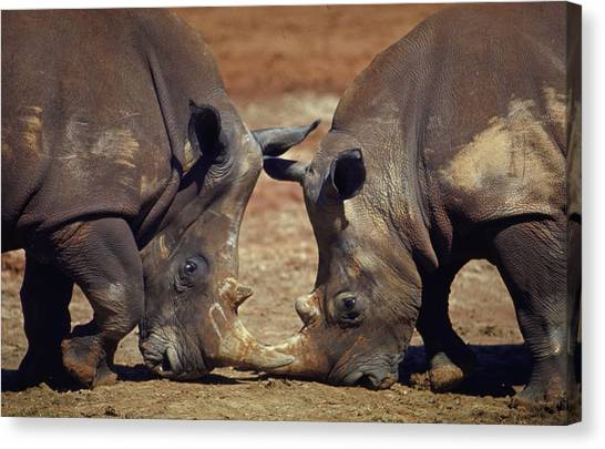 Two White Rhinocheros Fr. Zululand Canvas Print by Nina Leen