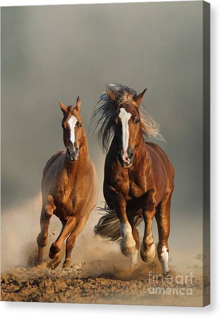 Powerful Canvas Print - Two Wild Chestnut Horses Running by Mariait