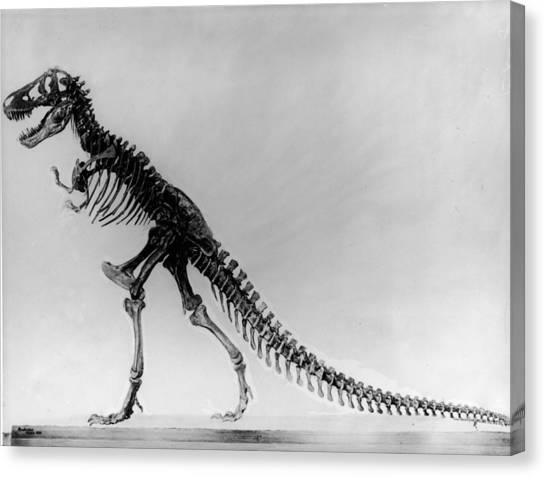 Tyranosaurus Skeleton Canvas Print by Hulton Archive