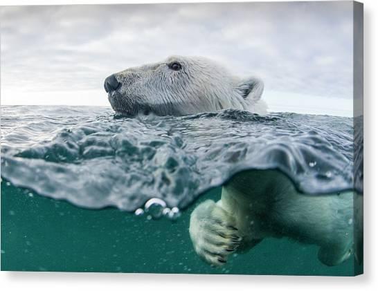 Underwater Polar Bear In Hudson Bay Canvas Print