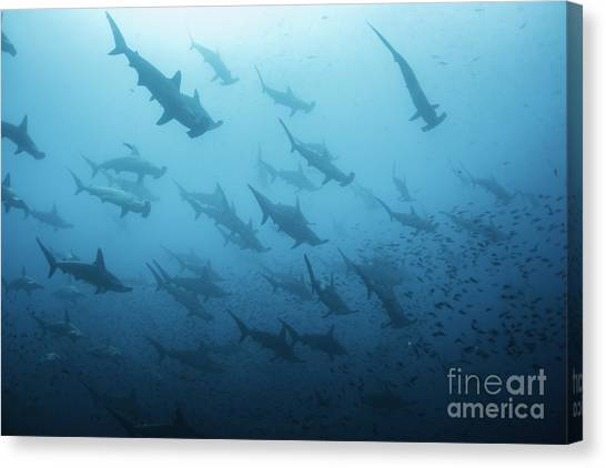Sea Life Canvas Print - Underwater View Of Scalloped Hammerhead by Wildestanimal
