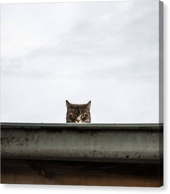 Unhappy Alley Cat Staring Back Canvas Print