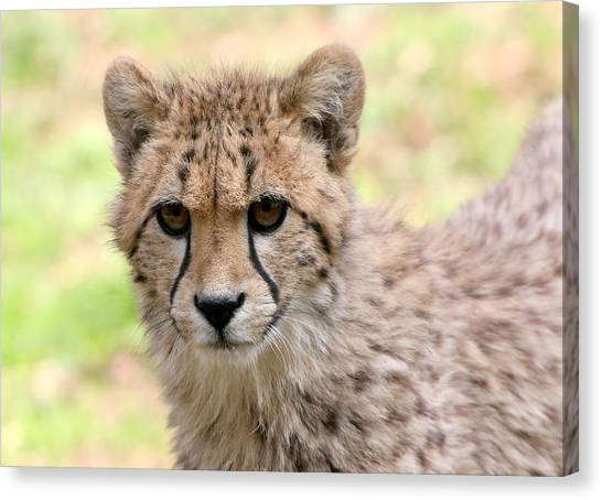 Unwavering Cheetah Youngster Canvas Print by Ger Bosma
