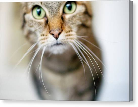 Up Close Brown Striped Cat Canvas Print