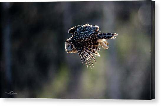 Ural Owl Flying Against The Light To Catch A Prey  Canvas Print